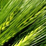 青汁の3大原料!ケール・大麦若葉・明日葉の違いって?|青汁の通販 やまだ農園本舗